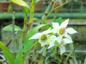 Rondon Ridge orchid garden (18)
