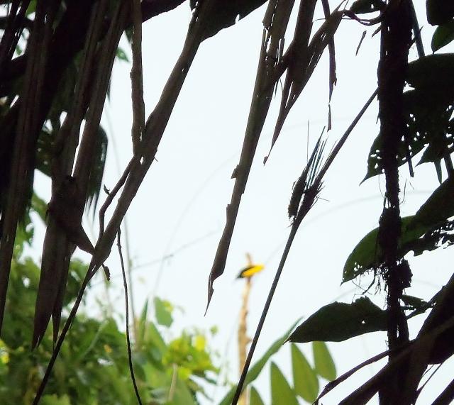 12 wire bird of paradise